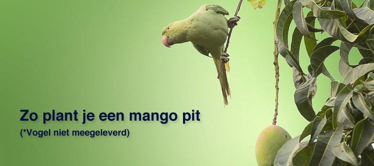 Mango pit planten